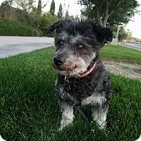 Adopt A Pet :: Harmoni aka Granma - Las Vegas, NV