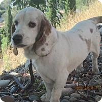 Adopt A Pet :: BRAD - La Mesa, CA