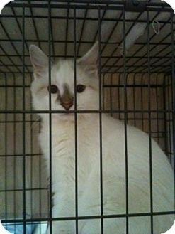 Ragdoll Cat for adoption in Oviedo, Florida - Spice