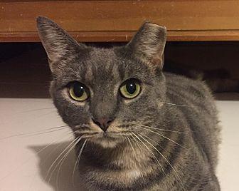 Domestic Shorthair Cat for adoption in New York, New York - SHELBY- Loving Sweatheart