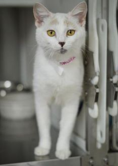 Domestic Shorthair/Domestic Shorthair Mix Cat for adoption in Amory, Mississippi - Sweetie