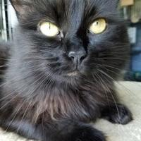 Domestic Longhair/Domestic Shorthair Mix Cat for adoption in Waterville, Maine - Jasmine