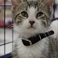 Domestic Shorthair Kitten for adoption in Wichita Falls, Texas - Mauie