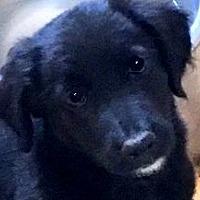 Adopt A Pet :: HOBBS(ADORABLE SMART PUPPY!! - Wakefield, RI