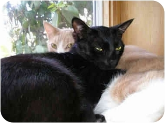 Domestic Shorthair Cat for adoption in New Fairfield, Connecticut - Lucas