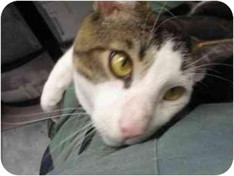 Domestic Shorthair Cat for adoption in Staten Island, New York - Houdini
