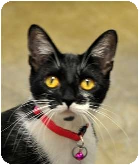 Domestic Shorthair Cat for adoption in Sacramento, California - Mollie