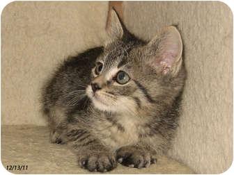 Domestic Shorthair Kitten for adoption in Republic, Washington - Benameji