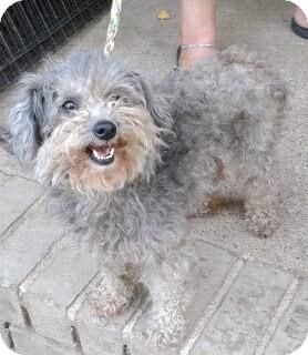 Poodle (Miniature) Dog for adoption in Remlap, Alabama - Lelo