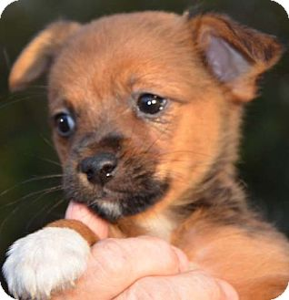 Pomeranian/Chihuahua Mix Puppy for adoption in Plainfield, Connecticut - Drake