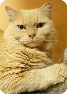 Maine Coon Cat for adoption in Medford, Massachusetts - Brody