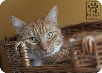 Domestic Shorthair Cat for adoption in Lancaster, Massachusetts - Amber
