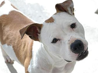 American Staffordshire Terrier/American Pit Bull Terrier Mix Dog for adoption in Sacramento, California - Athena
