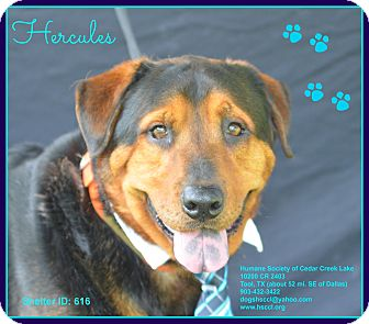 Rottweiler Mix Dog for adoption in Plano, Texas - Hercules