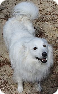 American Eskimo Dog Dog for adoption in Forked River, New Jersey - Rillo