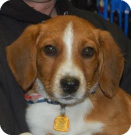 Hound (Unknown Type) Mix Puppy for adoption in Brooklyn, New York - Parker
