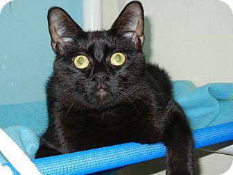 Domestic Shorthair Cat for adoption in Miami, Florida - Figero
