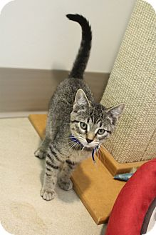 Domestic Shorthair Cat for adoption in Chicago, Illinois - Nilla