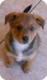 Chihuahua Mix Puppy for adoption in dewey, Arizona - Joshua