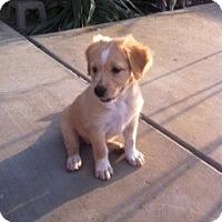 Adopt A Pet :: Honey - Cathedral City, CA