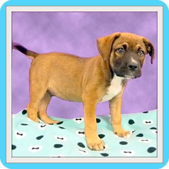 Retriever (Unknown Type) Mix Puppy for adoption in Glendale, Arizona - Brutus