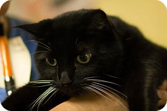 Domestic Mediumhair Cat for adoption in Lowell, Massachusetts - Maddie