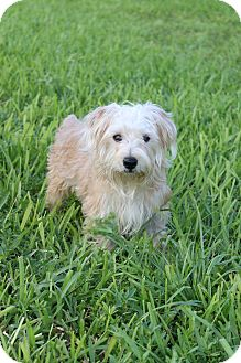 Westie, West Highland White Terrier/Yorkie, Yorkshire Terrier Mix Dog for adoption in Pompano Beach, Florida - Simba