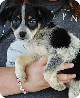 Australian Cattle Dog/Jack Russell Terrier Mix Puppy for adoption in Weatherford, Texas - Moo