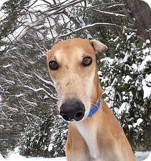 Greyhound Dog for adoption in Swanzey, New Hampshire - Jackson