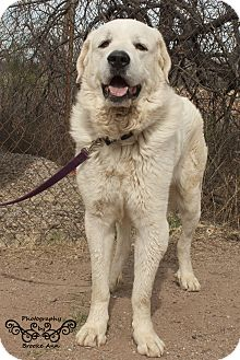 Great Pyrenees Mix Dog for adoption in Huachuca City, Arizona - Cassidy