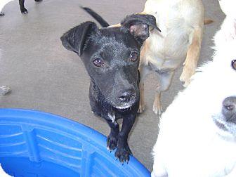 Norfolk Terrier/Chihuahua Mix Puppy for adoption in Pahrump, Nevada - Devo