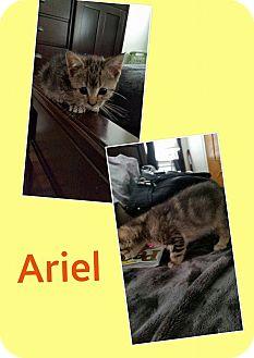 Domestic Shorthair Kitten for adoption in North Richland Hills, Texas - Ariel
