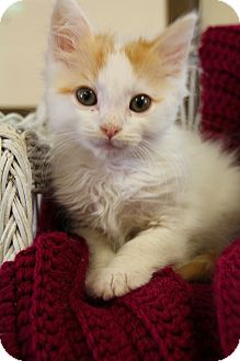 Domestic Shorthair Kitten for adoption in Nashville, Tennessee - Purrkins
