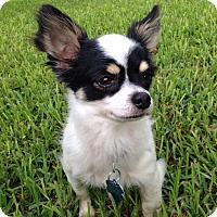 Adopt A Pet :: Cookie - AUSTIN, TX