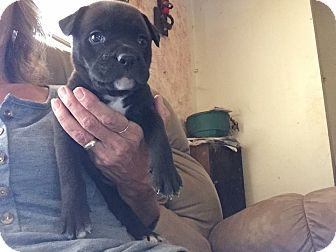 American Pit Bull Terrier/Labrador Retriever Mix Puppy for adoption in Burlington, New Jersey - Cocoa
