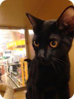 Domestic Shorthair Kitten for adoption in Scottsdale, Arizona - Sal