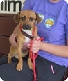 Dachshund Mix Dog for adoption in Barnegat, New Jersey - Rocky