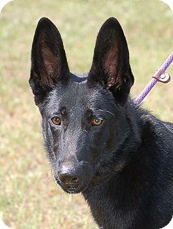 German Shepherd Dog Dog for adoption in Preston, Connecticut - Pete