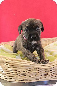 Plott Hound Mix Puppy for adoption in Waldorf, Maryland - Brownee