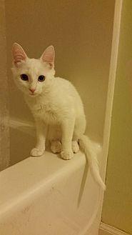 Domestic Shorthair Kitten for adoption in Greensboro, North Carolina - Snow White