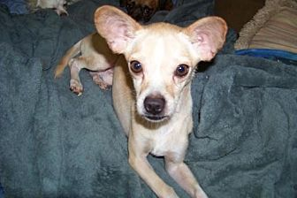 Chihuahua Mix Dog for adoption in Glendale, Arizona - Whitman