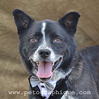 Border Collie Mix Dog for adoption in Las Vegas, Nevada - Conner