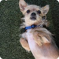 Adopt A Pet :: ChuChu - Rockwall, TX