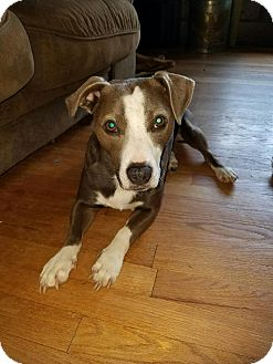 Corgi/Labrador Retriever Mix Dog for adoption in Simsbury, Connecticut - Ventura - B - COURTESY POST