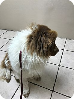 Collie/Chow Chow Mix Dog for adoption in Las Vegas, Nevada - Grizzly