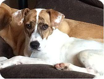 German Shorthaired Pointer/Whippet Mix Dog for adoption in Beachwood, Ohio - Daniel (Dani)