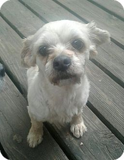 Shih Tzu/Terrier (Unknown Type, Small) Mix Dog for adoption in Olive Branch, Mississippi - Misty Rose's Transformation