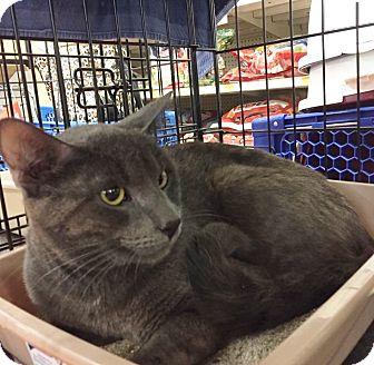 Russian Blue Cat for adoption in Brea, California - IRELAND