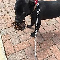 American Pit Bull Terrier/Labrador Retriever Mix Dog for adoption in Porterville, California - Maggie