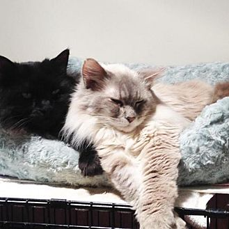 Maine Coon Cat for adoption in Oakland, California - Peep (& Pandy)